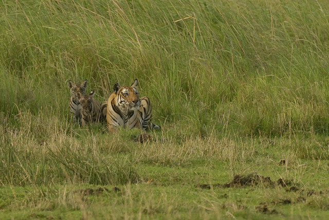 Vijaya and her new small family in Chakradhara meadow (c) Kay Hassall Tiwari