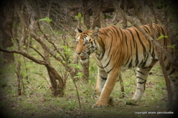 Last Click of Vijaya - I got lucky to see this beautiful tigress just a day before the park was about to get closed for the monsoon, (c) 2014