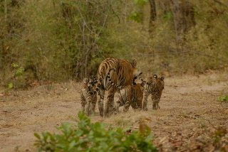 Tulsi with her three cubs in June 2013. One now missing and one dead. (c) Kay Tiwari
