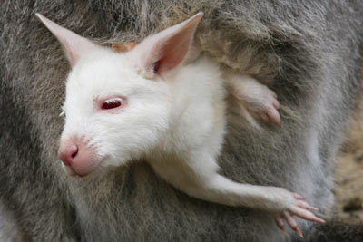 Animals with albinism like this wallaby usually stay in the shade to protect skin from sunlight. Guiseppe Cacace of Agence France Presse/Getty Images