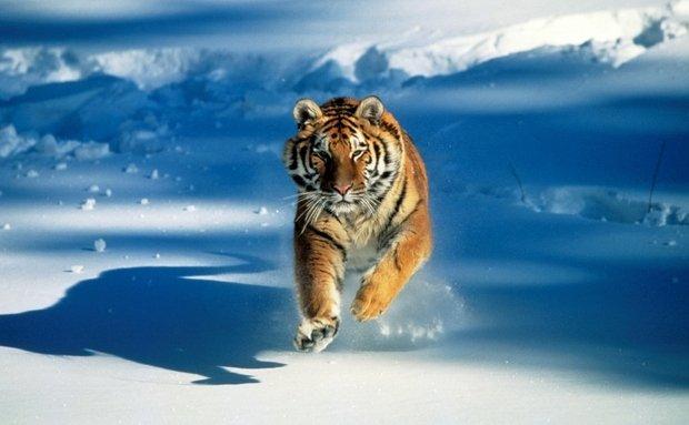 Tigre (Panthera tigris), espécie ameaçada de extinção segundo a IUCN (União Internacional para a Conservação da Natureza, na sigla em inglês). Foto: Tom Brakefield