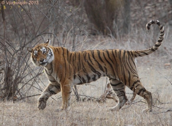 The Matriarch, Tigress Machli (T-16) with a curious look. Photo: Vijayarajan Muthu
