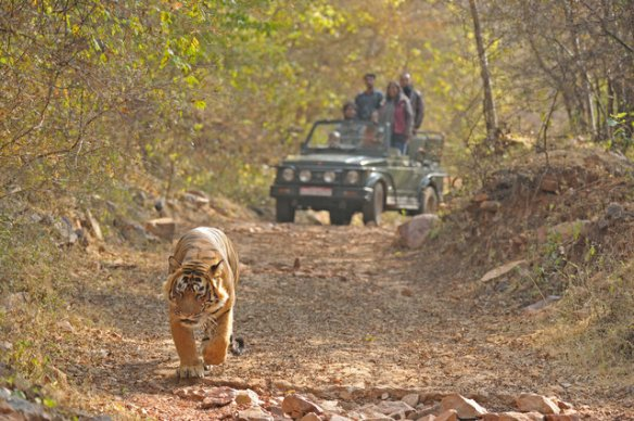 Excited visitors follow one of India wild tigers in Ranthambhore, now completely habituated to the daily comings and goings of jeeps across their territory. (c) Aditya Singh