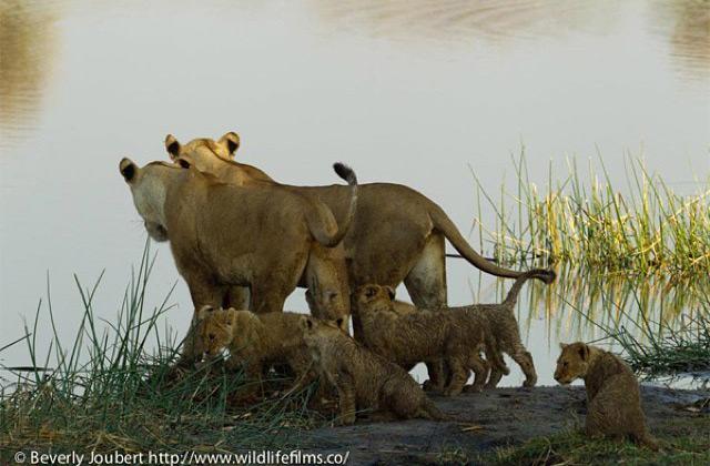 lion-cubs1