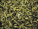 maggots_85211_160x120