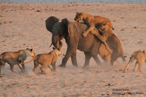 lions-attacking-elephant