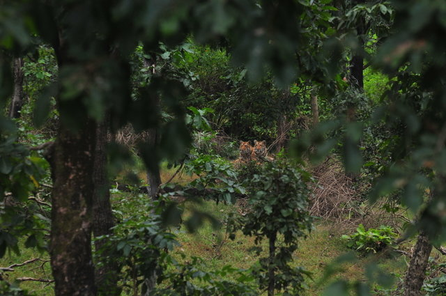 Collarwali cubs - Recently sighted at in an evening drive near alikatta main road. Though we have not seen the mother around there, but others have. (c) 2014