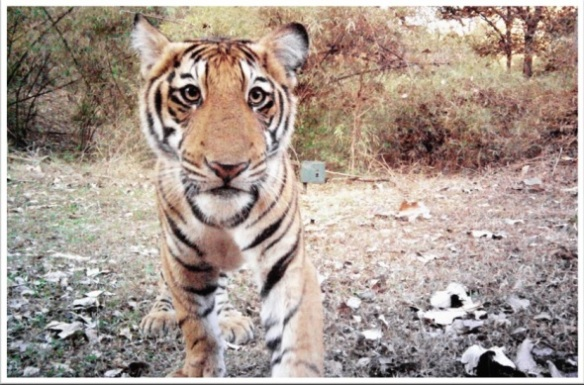 tiger-camera-trap-photo-590x389