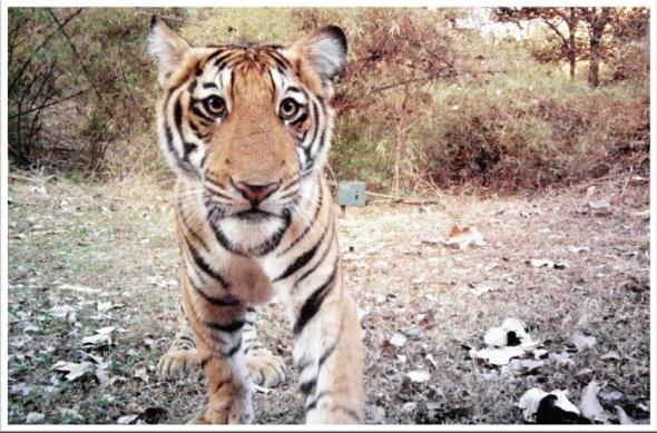 tiger-camera-trap-photo-590x389