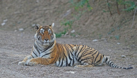 Hosnara (T30) the residential tigress of the Jail kho area of the park and T71's mother - is one of the lesser known and photographed ones. (c) sriskandh