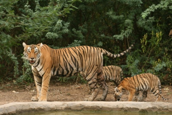 T71 as a youngster with mother and his siblings. (c) 2012