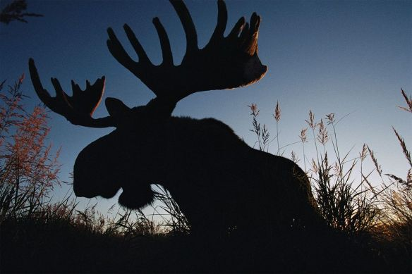 Moose, like this one in Alaska's Kenai National Wildlife Refuge, are adept at converting plants directly into energy. PHOTOGRAPH BY JOEL SARTORE, NATIONAL GEOGRAPHCI CREATIVE