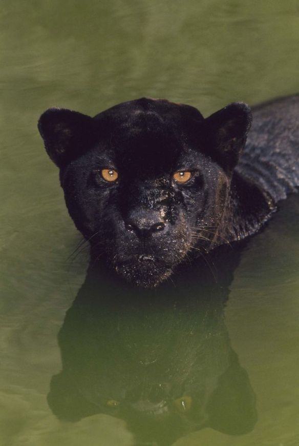 A black jaguar (Panthera onca) crouches in a pool of water in Brazil. Black jaguars are also called black panthers, which is an umbrella term for any big cat with a black coat. PHOTOGRAPH BY FRANS LANTING, NATIONAL GEOGRAPHIC CREATIVE