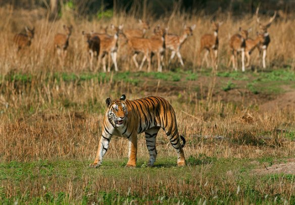 A tigress in the meadows of Bandhavgarh Tiger reserve. c Imtiaz Khan