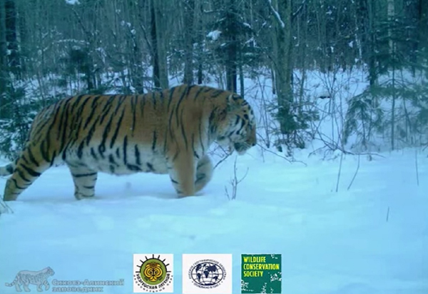 0310.amur-tiger-family.600