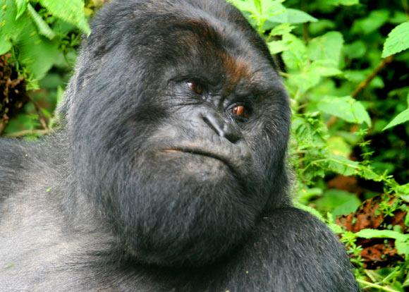 The mountain gorilla (Gorilla beringei beringei). Image credit: Gavin Langille / CC BY-SA 2.0.