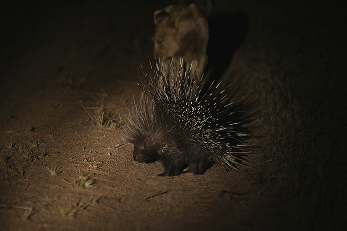 A fully grown porcupine spreads its quills to protect itself against some inquisitive lions. Photographed by Lucien Beaumont.
