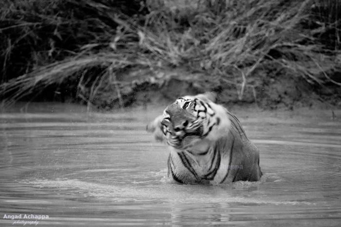 Bengal Tiger Panthera tigris , shaking of water