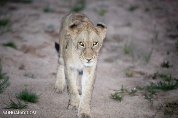 Young lion in Kruger National Park in South Africa. Photo by: Rhett A. Butler.